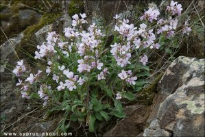 Арабис / Arabis purpurea (Purple rockcress)